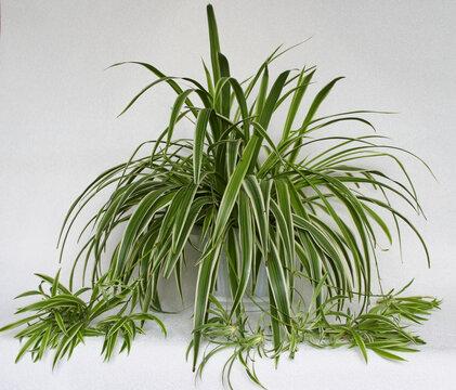 chlorophytum - house plant on white background