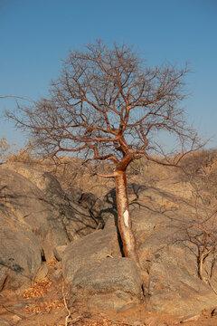 desert tree in stones