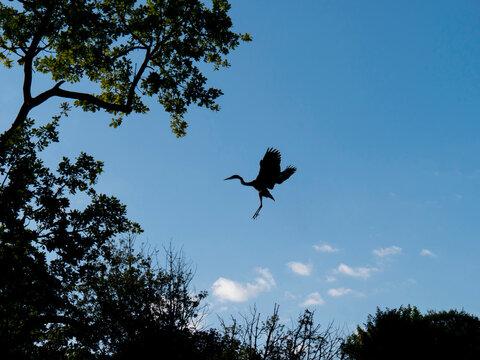 Heron approaching landing