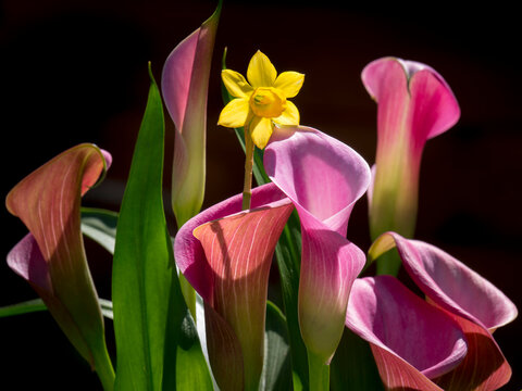Spring tulips daffodil