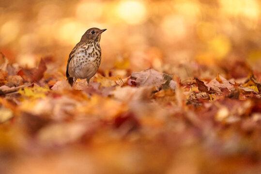 Hermit Thrush in autumn leaves