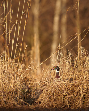 Wood Duck male drake in grass