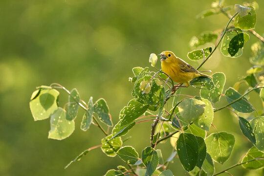 Yellow Warbler feeding on green bug