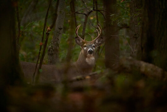 White-tailed Deer buck with antlers in dark forest