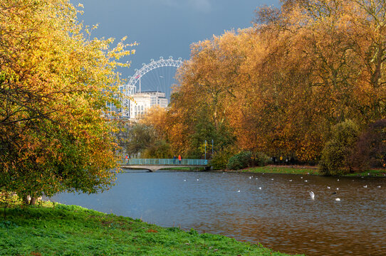 The landscape of St. James park in the fall season with orange trees reflected on a lake and the Wheel of London in the background in England.