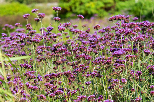 Verbena bonariensis a purple herbaceous perennial summer autumn flower plant commonly known as purple top or Argentinian vervain, stock photo image