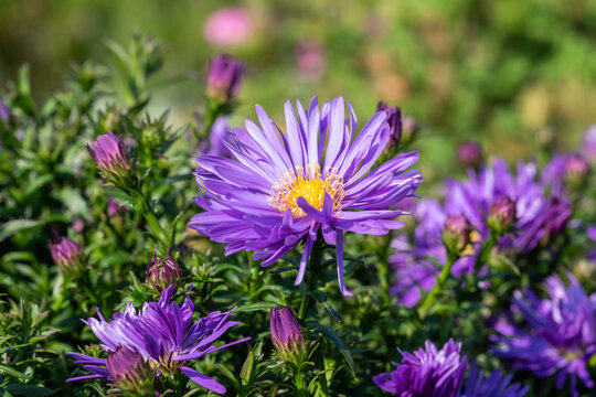 Aster 'Herfstweelde' (Autumn Wealth) a lavender blue herbaceous perennial summer autumn flower plant commonly known as Michaelmas daisy, stock photo image