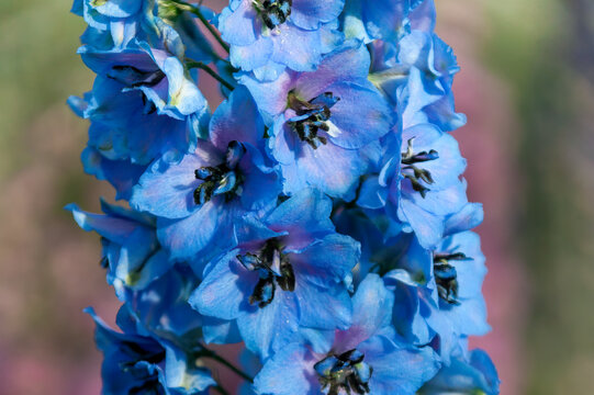 Delphinium elatum 'Carol Fishenden' a blue herbaceous spring summer flower plant commonly known as larkspur, stock photo image