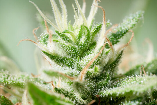 macro cannabis bud