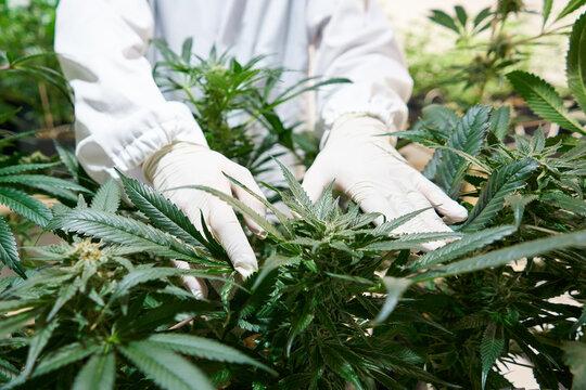 Medicinal Cannabis Plants