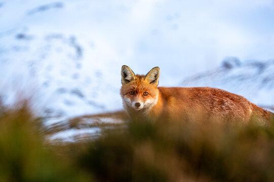 Fox at the Großglockner-Hochalpenstraße on a sunny day in fall