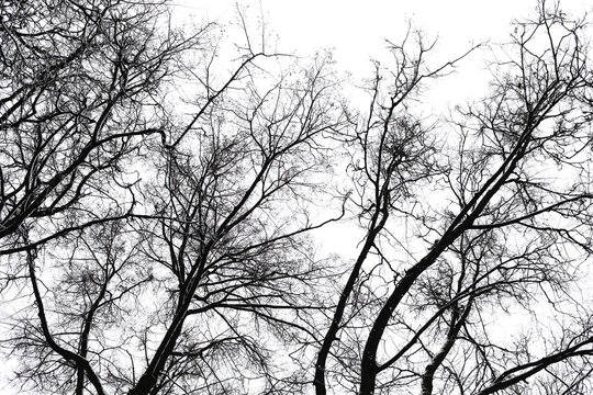 Black branches of trees in the white sky with snow in winter