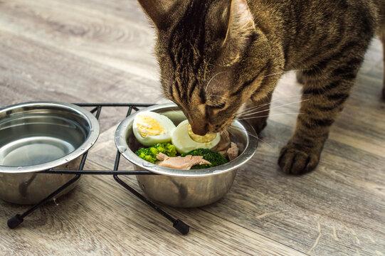 hungry cat eats fresh natural food. Cat food and diet concept