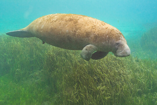 Giant manatee swimming over eel grass in clear blue water of river