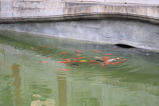 Beijing Forbidden City a Group of Koi Fish in the Pond under a Bridge