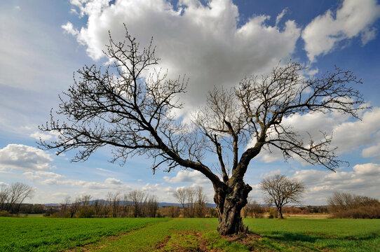 Knorriger Baum im Frühjahr