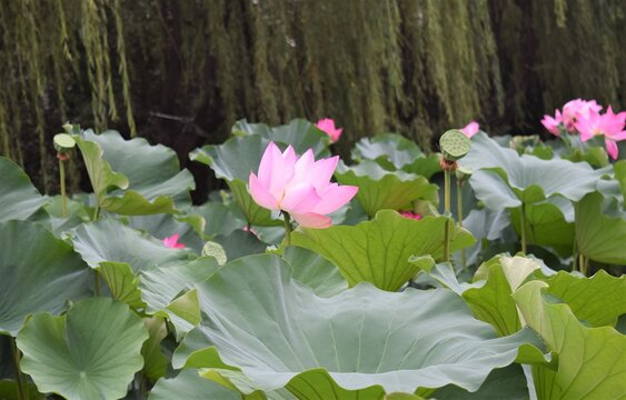 A Blooming Waterlily Lotus Flower in a Pond at a Street Side in Beijing City China