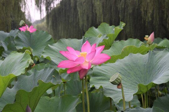 A Blooming Waterlily Lotus in a Pond at a Street Side Park at Beijing City China