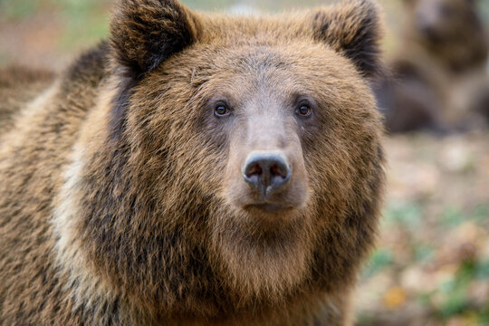 Close-up brown bear portrait. Danger animal in nature habitat. Big mammal