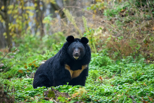 Asiatic black bear (Ursus thibetanus)