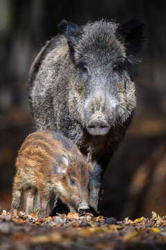 Cute swine sus scrofa family in dark forest. Wild boar mother and baby on background natural environment