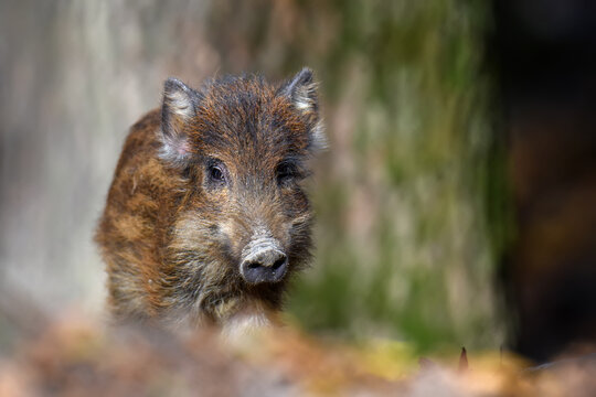 Baby wild boar, Sus scrofa, running red autumn forest in background