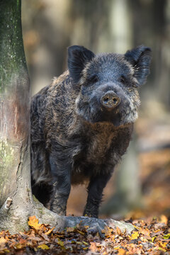Portrait male Wild-boar in autumn forest