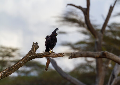 Long-crested eagle (Lophaetus occipitalis) with long shaggy crest and dark plumage, perched on tree branch in Maasai Mara Reserve, Kenya. African bird of prey of family Accipitridae. Bright yellow eye