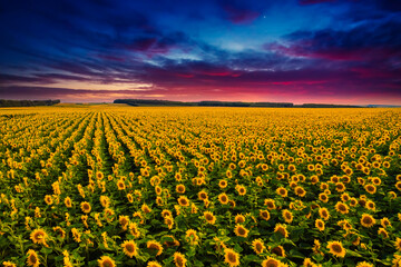 Wall Mural - Majestic scene of vivid yellow sunflowers from above in the evening.