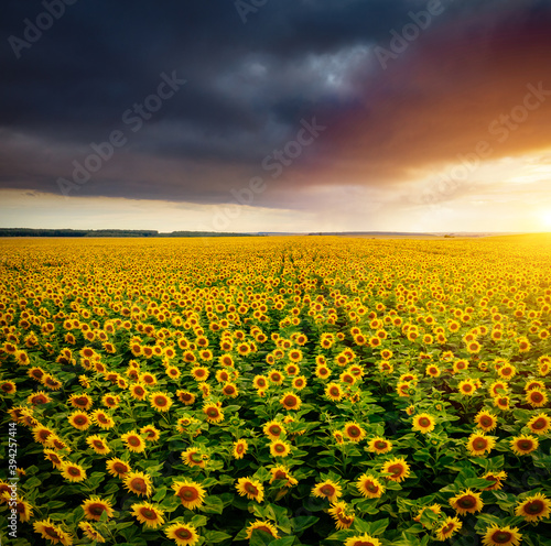 Wall mural Majestic scene of vivid yellow sunflowers from above in the evening.