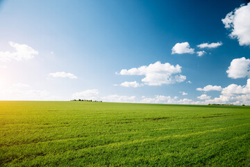 Wall Mural - Bright green field and perfect blue sky. Agricultural area of Ukraine, Europe.