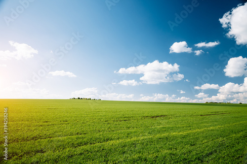 Wall mural Bright green field and perfect blue sky. Agricultural area of Ukraine, Europe.
