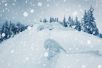 Wall Mural - Charming white spruces on a frosty day. Location Carpathian national park, Ukraine, Europe.