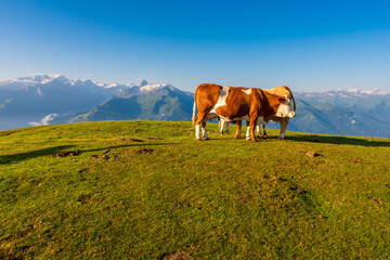 Mountain green summit landscape. Cow grazing on mountain summit. Cows graze in mountains alps europe austria Wall mural