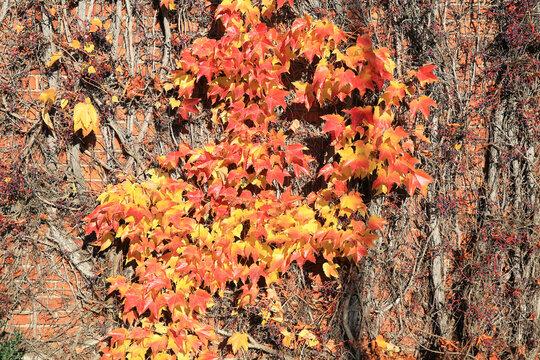 Beautiful grape ivy in sunny November