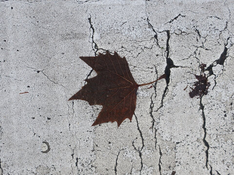 brown leaf of a plane laying on a white painted sidewalk