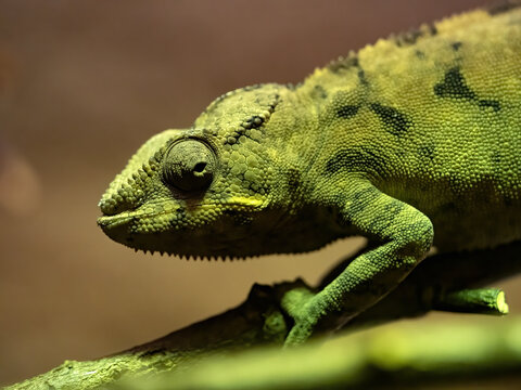 The Panther Chameleon, Furcifer pardalis, changes color in a moment when the photographer uses the flash