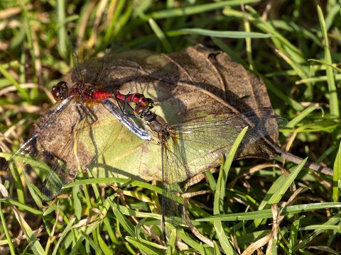 Two dragonflies are mating, sitting on a large dry leaf