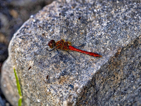 A large red dragonfly sits on a large boulder and blends in with its surroundings