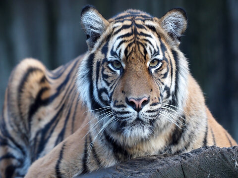 The Sumatran Tiger, Panthera tigris sumatrae, stares into the distance