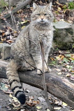 European wild cat, Felis s. Silvestris, sits on a trunk and watches intently