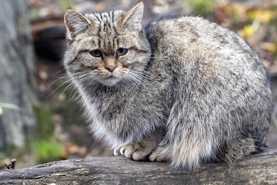 European wild cat, Felis s. Silvestris, sitting on a trunk and napping