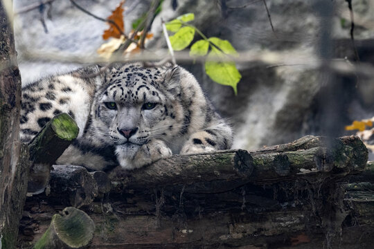 The snow leopard, Panthera uncia, lies high in a tree and takes a nap
