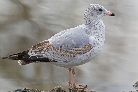 Ring billed Gull, Larus delawarensis, close side view
