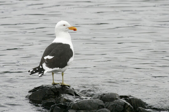 Kelp Gull, Larus dominicanus, by the water