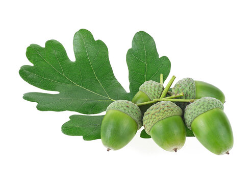 Green oak leaf and green acorns isolated on a white background