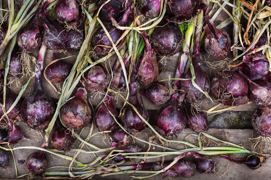 Red onions, Denmark