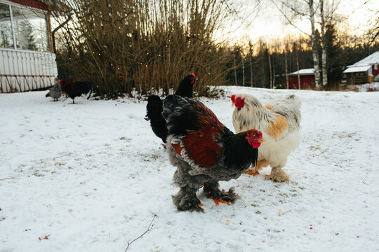 Chickens on snow, Sweden