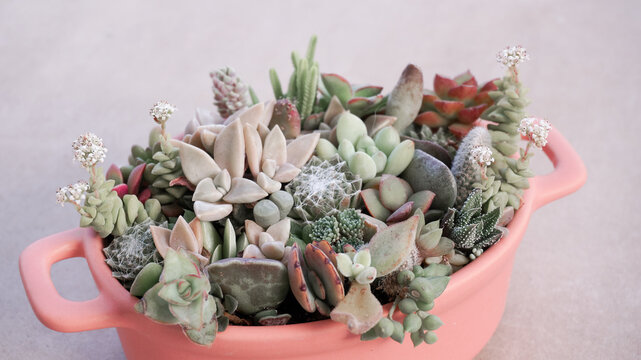 Cute tiny succulent plants in pink pot close up twisted