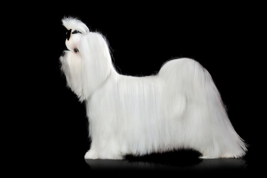 Side view picture of maltese dog at the black background